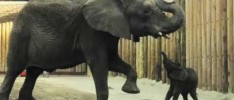 A bouncing baby…elephant